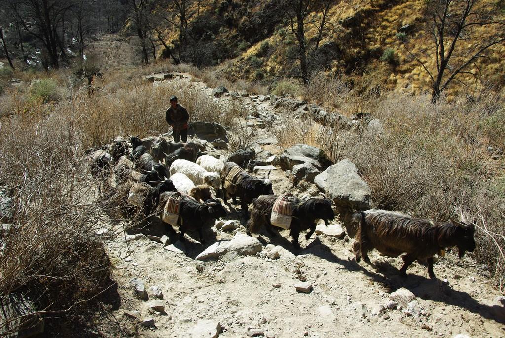 Chèvres porteuses à l'ouest du Népal