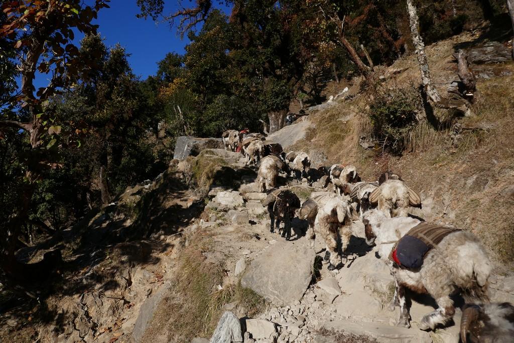Portage du riz et des lentilles à l'ouest du Népal