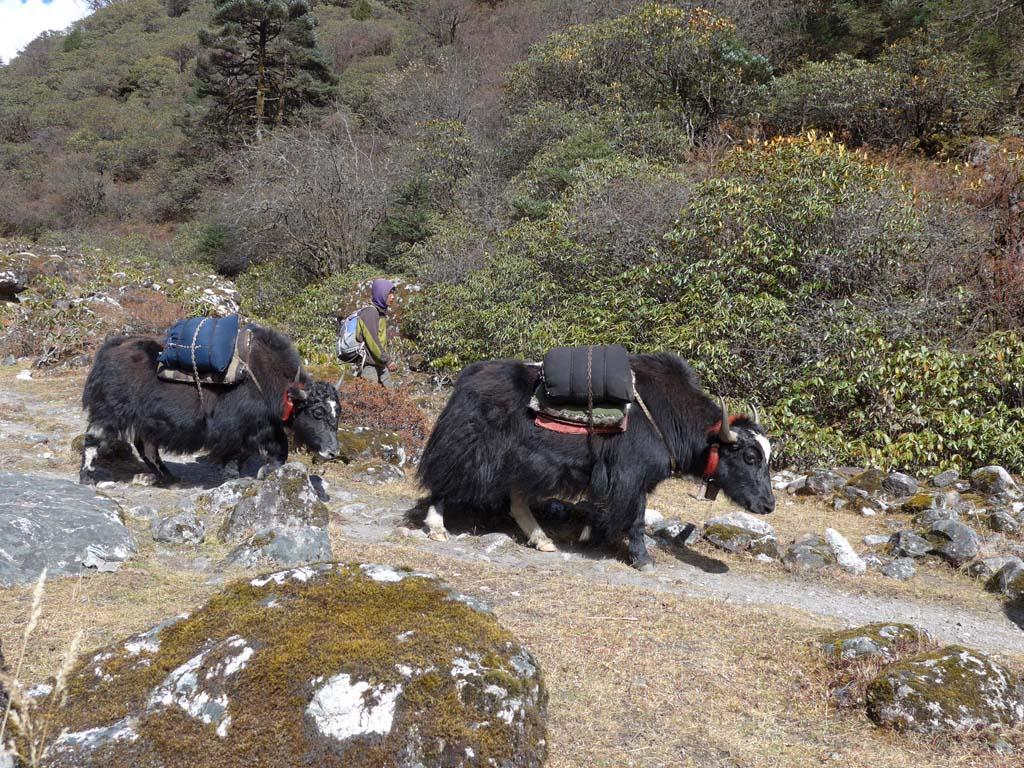 Traversée du Kanchenjunga au Makalu, yaks