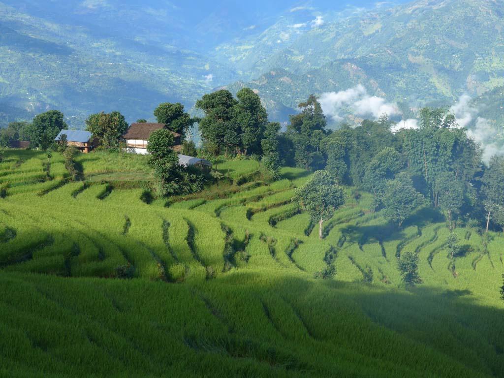 Rizières du trek du Langtang
